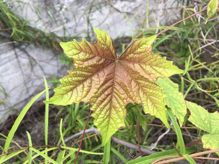 Close-up of maple leaf on land