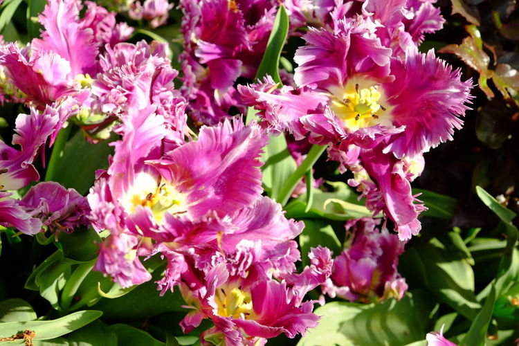 Outdoors No People Nature Inflorescence Growth Flower Head Close-up Freshness Plant Petal Beauty In Nature Fragility Vulnerability  Flower Flowering Plant Tulip Florália Tulips Spring Springtime Purple