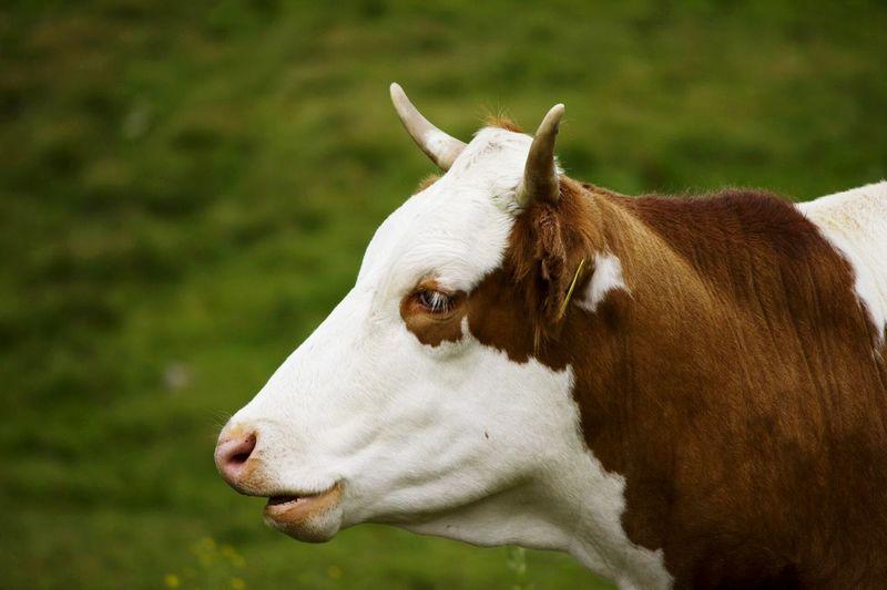 Cow Sauris