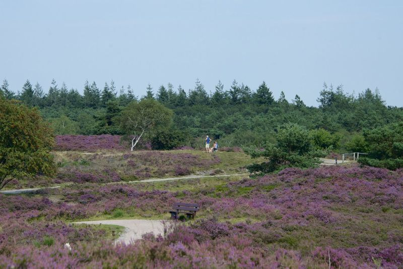 Dutch Cycle Route (Renderklippen fietsroute) in Epe, Gelderland. Gelderland Netherlands Renderklippen The Netherlands Veluwe Beauty In Nature Heather Holland Scenics