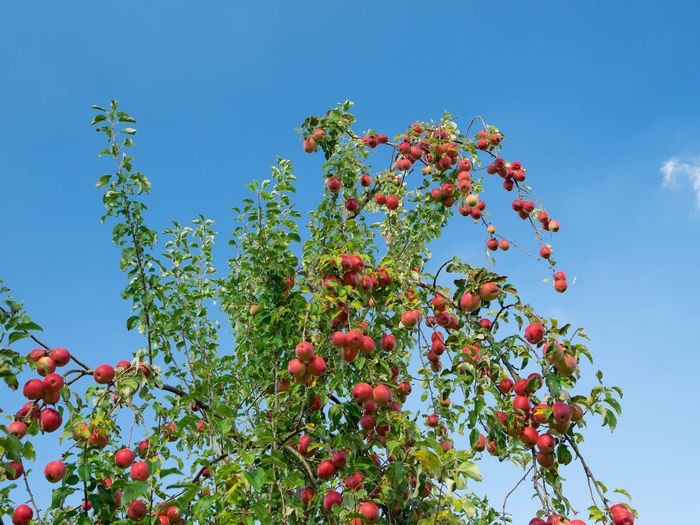 Low angle view of berries on tree against blue sky