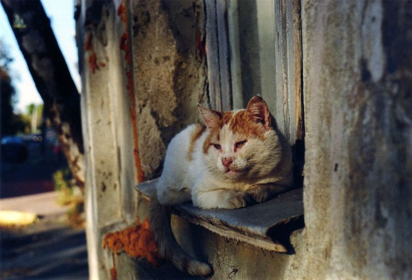 35mm Alertness Cat Close-up Day Domestic Animals Domestic Cat Feline Focus On Foreground Mammal Nature No People Outdoors Pets Portrait Relaxation Selective Focus Stray Animal Whisker Wood - Material