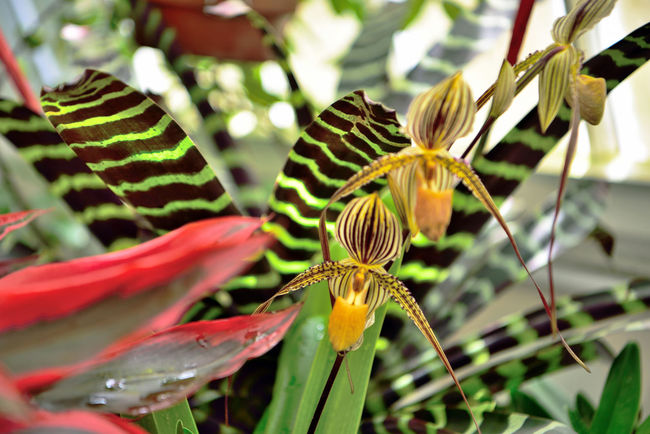 What's Blooming At The Conservatory 4 San Francisco CA🇺🇸 Conservatory Of Flowers Built In 1897 Golden Gate Park Architecture Victorian Style : Italinate Gothic Greenhouse Architectural Detail Glass & Wood Flowers Flower_Collection Slipper Flower Plants Orchids Bromeliad Garden _collection Garden_lovers Nature Beauty In Nature Nature_collection Tropics Sub-Tropics Botany Flower Photography Horticulture