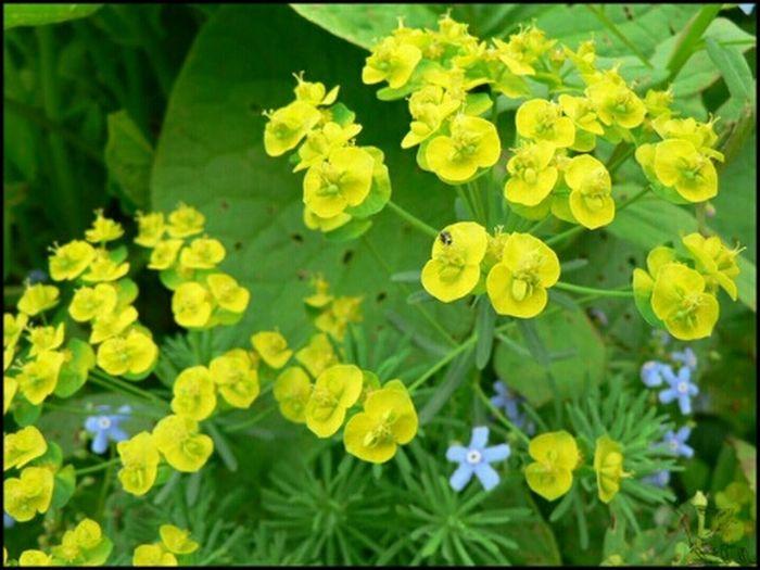 цветок  зеленый желтый голубой Природа