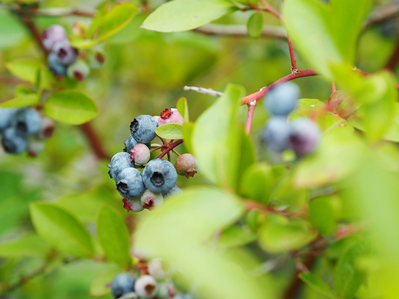 fruit, berry fruit, food and drink, no people, selective focus, green color, growth, day, outdoors, nature, freshness, close-up, food, leaf, blueberry, plant, healthy eating, tree, beauty in nature