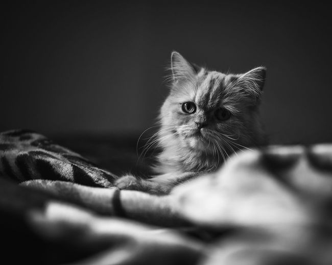 good morning Monochrome Blackandwhite Light And Shadow Pets Close-up Domestic Cat Persian Cat  Kitten Pet Bed