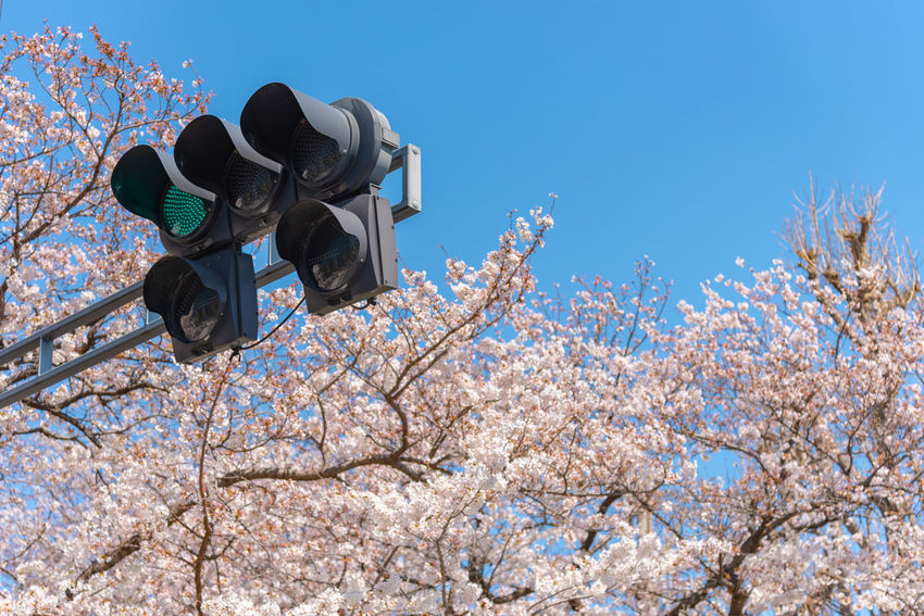Traffic light (The green light) with Cherry blossoms, Tokyo, Japan. ASIA Cherry Blossom Green Japan Light Pole Red Street Light Street Lamp Tokyo Traffic Travel Blossom Cherry Tree Flower Lamp Standard Lamppost Light Standard Season  Signal Lights Spring Stoplight Traffic Lamp Traffic Semaphore Traffic Signals Yellow