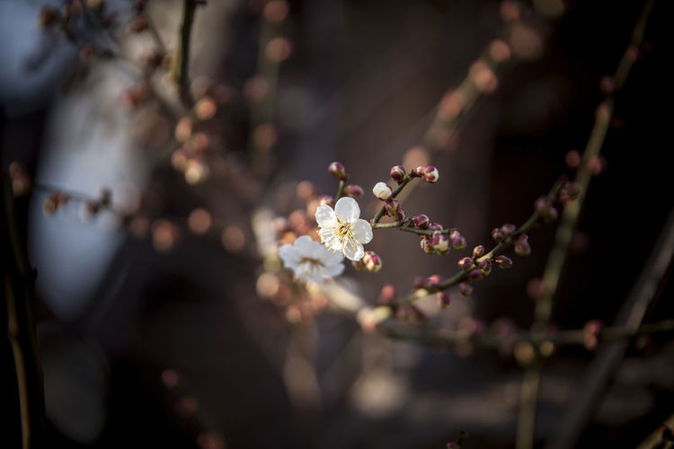 Flowering Plant Flower Plant Growth Beauty In Nature Selective Focus Fragility Tree Freshness Blossom Vulnerability  Branch Springtime Close-up Nature Day Focus On Foreground No People Outdoors Cherry Blossom Plum Blossom Pollen Cherry Tree Flower Head Spring
