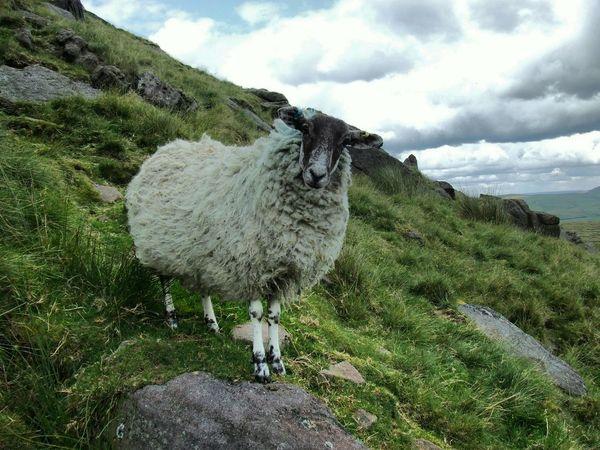 Hi! Cheese! Sheep Hillside Rocks Nosey Animal Walking Around Taking Photos in Cheshire Countryside