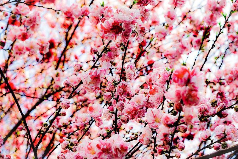 Flower Freshness Nature Tree Pink Color Beauty In Nature Growth Springtime Blossom Fragility Branch Abundance No People Low Angle View Close-up Outdoors Petal Day Cherry Tree Cherry Blossom
