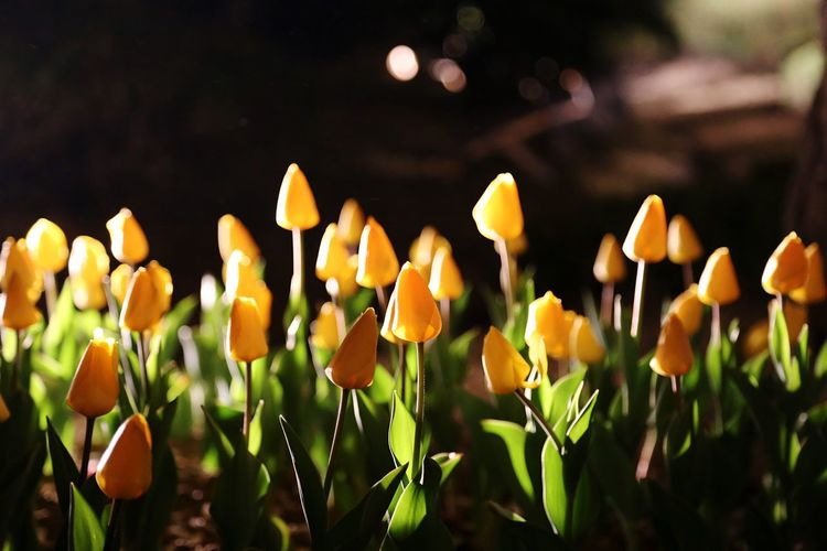 EOS 6D EF 24-105mm South Korea Flower Night Tulips Landscape