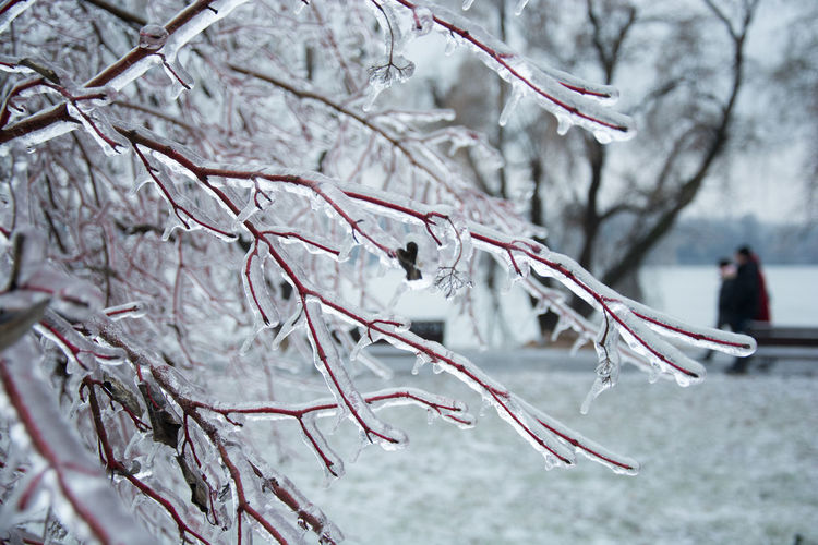 Tree Cold Temperature Winter Branch Beauty In Nature Frozen White Color Red Branches Ice Icicle Extreme Cold Weather Frost Icy Branch Ice Crystal