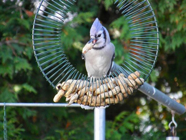 Blue jay with peanut focus on the foreground Animal Themes Bird One Animal Outdoors Close-up No People