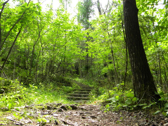 Green Color Minnesota National Park North Woods  Northwoods Path Steps Beauty In Nature Day Forest Growth Nature No People Outdoors Scenics The Way Forward Tranquil Scene Tranquility Tree Tree Trunk