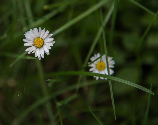 Beauty In Nature Blooming Blumenfotografie Blumenmakro Blumenpracht🌺🍃 Blüten Flower Flower Head Gänseblümchen Makro Nature No People Plant White Color