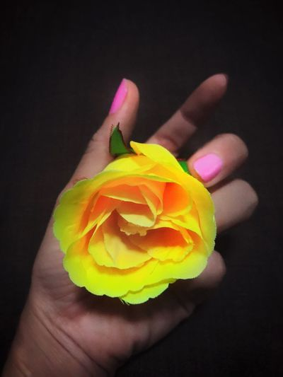 Close-up of hand holding yellow rose against black background