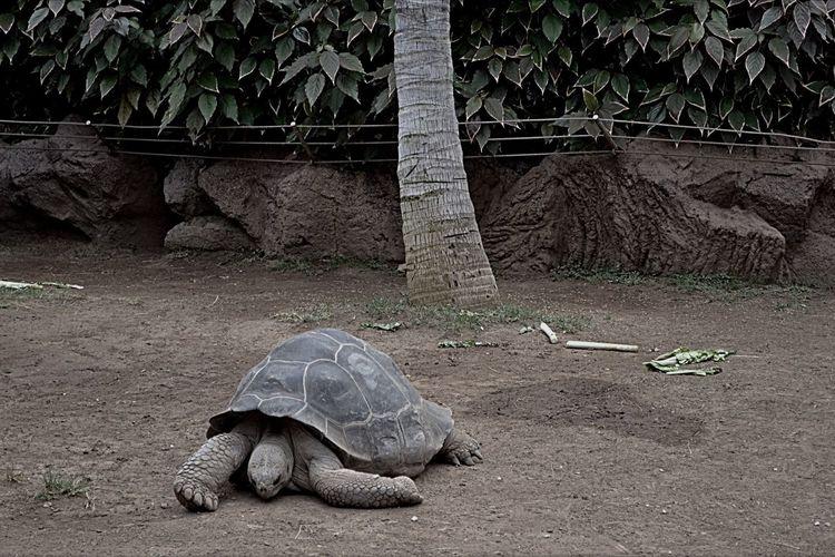 A lonely life Turtle 🐢 Turtles Turtle Tenerife Spain Tenerife España Tenerife Island Tenerife Lonleysoul Lonliness Turtle Tortoise Tree Animal Wildlife Animal Themes Vertebrate Animal Animal Shell No People One Animal