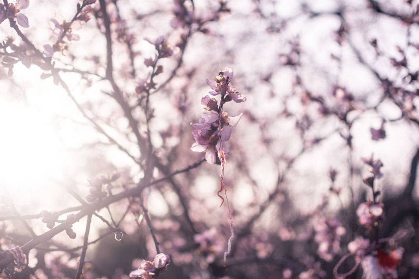 Mărțișor Romanian Tradition Beauty In Nature Blossom Cherry Blossom Cherry Tree Close-up Flower Flowering Plant Focus On Foreground Fragility Freshness Growth Martisor Nature Pink Color Plant Springtime Tree Vulnerability