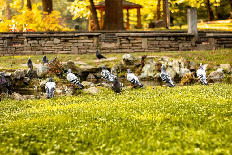Pigeons in a field