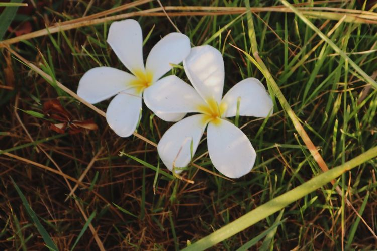 Flower Petal White Color Growth Beauty In Nature Flower Head Fragility Nature Frangipani Blooming Close-up Field High Angle View Freshness No People Day Plant Outdoors Grass Snowdrop