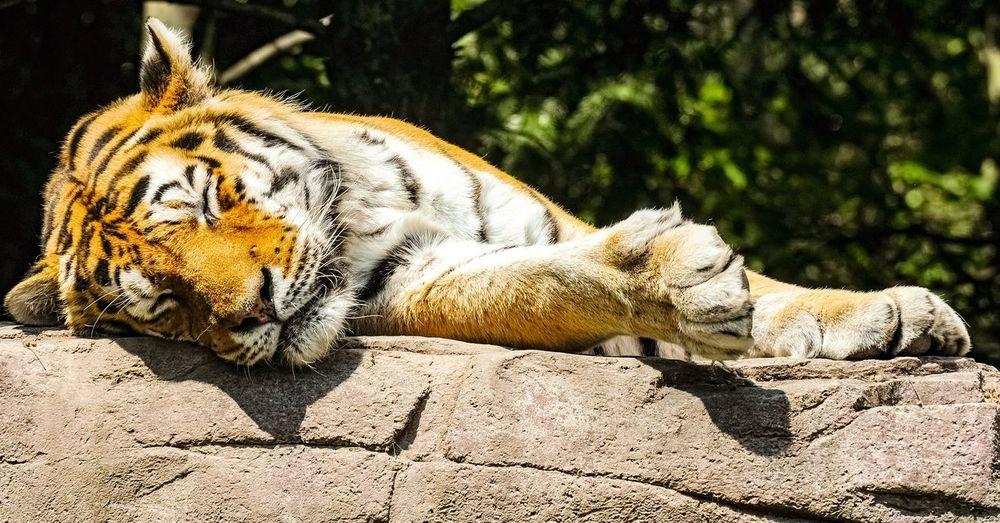 Sleeping amurtiger Leopard Relaxation Sunlight Close-up Big Cat Tiger
