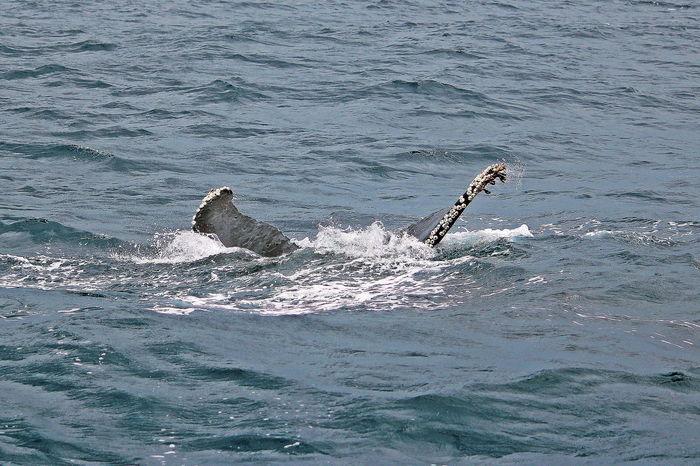 Beautiful Creature Humpback Whale Okinawa Whale Winter Beauty In Nature Marine Life Water Whale Watching Winter Wonderland