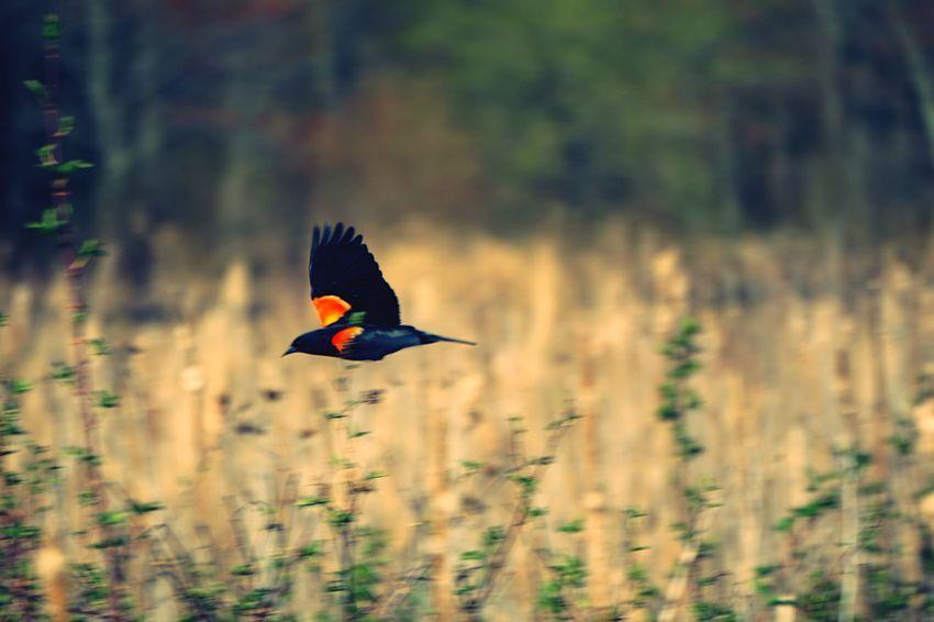 Too quick for me Redwingedblackbird Blackbird Birds EyeEm Birds Marshes Meadows Keep It Blurry