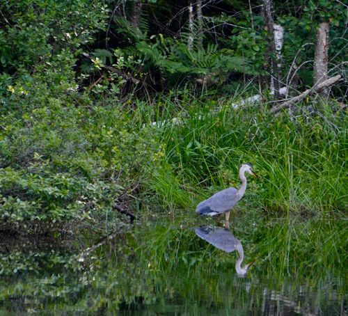 Looking for food Bird Animals In The Wild Nature Grass Water Outdoors No People Beauty In Nature