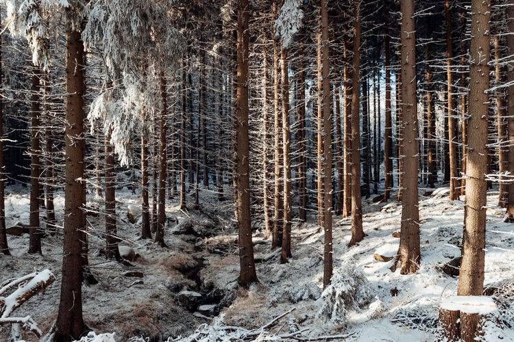 Pine trees in forest during winter