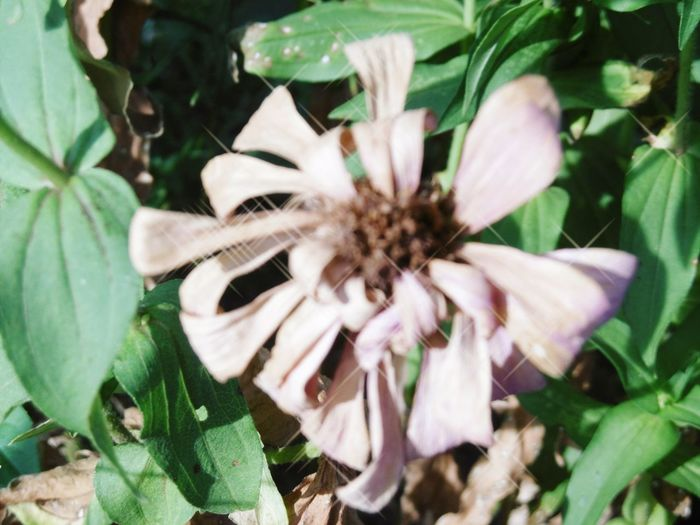 ดอกบานชื่น Thailand🇹🇭 Flower Plant Growth Nature Fragility Leaf Petal Outdoors Day Beauty In Nature Close-up Flower Head Freshness No People