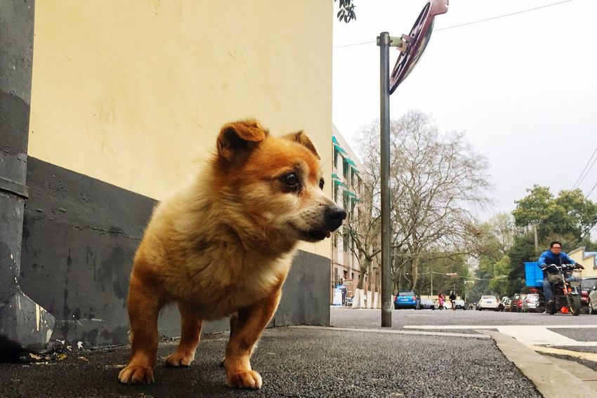 Photo One Animal Animal Themes Dog Pets Domestic Animals Mammal Built Structure Outdoors Full Length Building Exterior Pet Photography  Photography BEIJING北京CHINA中国BEAUTY NANJING南京CHINA中国BEAUTY Architecture Road No People Day German Shepherd Sky Nature