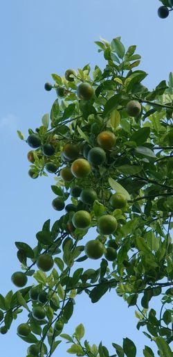 lime Tree Fruit