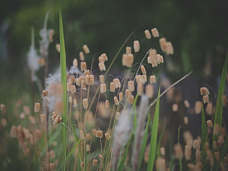 Quaking Grass Flowers Tadaa Community コバンソウ