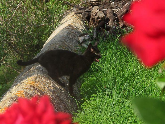Black cat in garden Black Cat In Garden Black Cats Are Beautiful Mammal Animal Themes Plant Animal Vertebrate One Animal Domestic Animals