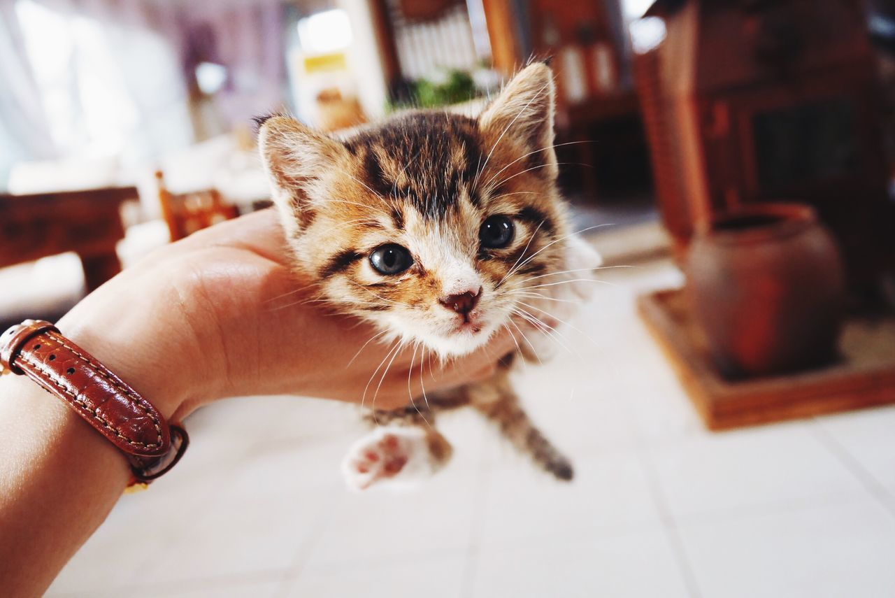 Cropped Hand Holding Kitten At Home