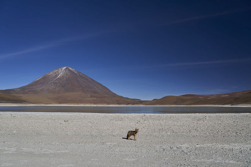 Andean fox in front of laguna verde, at high altitude in the arid landscape altiplano