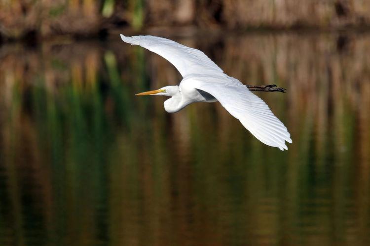 Close-Up Of Egret Flying Over Lake