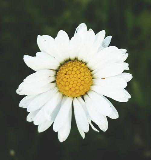Flower Single Flower Nature Close-up Mygardenflower