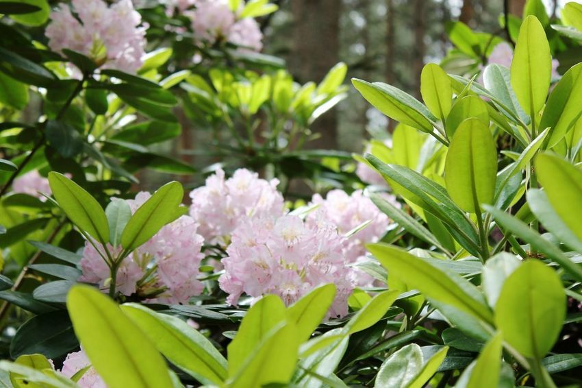 Flower Plant Nature Green Color Leaf No People Growth Outdoors Beauty In Nature Day Close-up Botanical Garden Flower Head Freshness Manyflowers Flowers Flowergarden Garden Flower Field Many Flowers Pink Flower