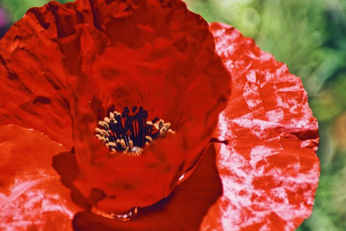 EyeEmNewHere EyeEm Best Shots Let's Do It Chic! Exceptional Photographs Respect For The Good Taste Poppy Flowers Red Color Beauty In Nature Blossom