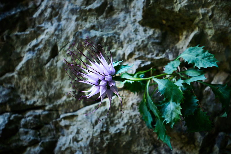 Close-up of purple flowering plant on rock