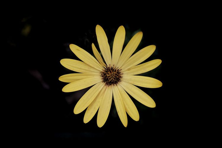 Getty Images Gettyimages Black Flower Head Flower Black Background Black-eyed Susan Yellow Petal Close-up Plant Blooming Plant Life