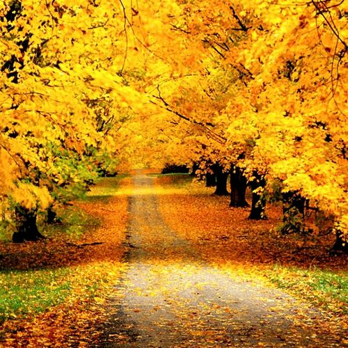 Paint The Town Yellow Autumn Change Leaf Nature Tree Beauty In Nature Yellow Forest Outdoors No People Single Lane Road Rural Scene Day