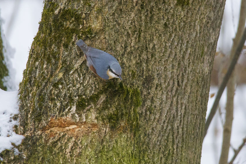 A nuthatch sits upside down on the mossy trunk of a tree picking up a sunflower seed Animal Themes Animal Wildlife Animals In The Wild Beauty In Nature Bird Close-up Day Nature No People One Animal Outdoors Perching Tree Tree Trunk