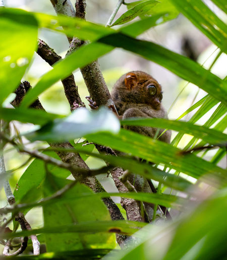 Tarsier hanging in the trees at the Philippines. Animal Animal Photography Animal Themes Animal Wildlife Animals Animals In The Wild ASIA Jungle Leaf Leafs Nature Photography Naturephotography Philippines Sabang Tarsier Tarsier Climbing In A Tree Tarsier In A Tree Tarsiers Tree Wild Wildlife Wildlife & Nature Wanderlust EyeEm Best Shots