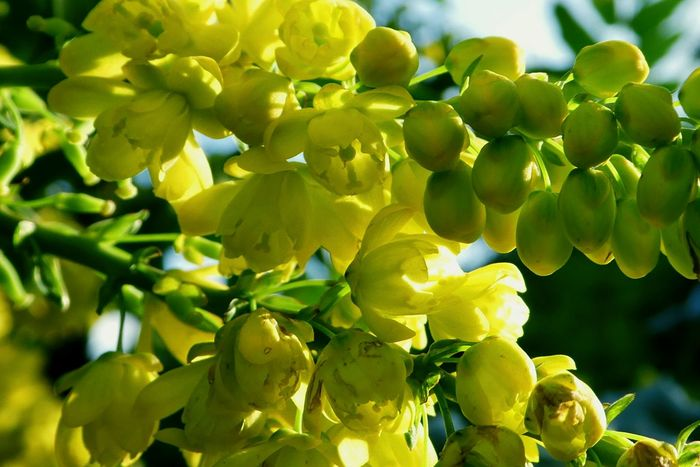 MAHONIAS got their name from an Irish nurseryman, Bernard McMahon, who settled in Philadelphia in the 18th century. His business became a centre for American gardeners, where everyone, from Thomas Jefferson downwards, met to mull over the horticultural topics of the day. McMahon wrote the first book about gardening on American soil, The American Gardener's Calendar, which was a best seller for 50 years. Plant Mahonia Flowers Scented Flowers Growth Yellow Green Color Close-up No People Nature Outdoors Beauty In Nature Flower Freshness Day Branch Freshness Winter Designed By Nature Yellow Color Light And Shade Sunlight Blurred Background Winter Flower  Happy Yellow Eyem Best Shots Nature_collection