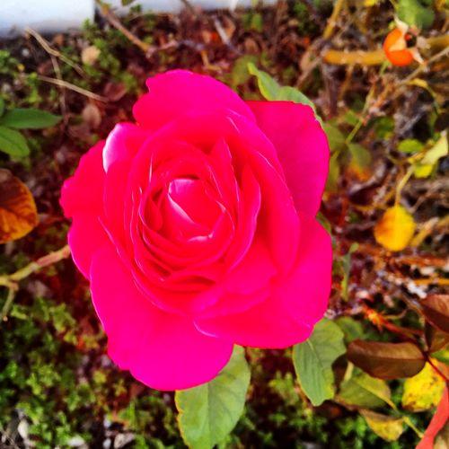 Pink Rose Rosa Rosada