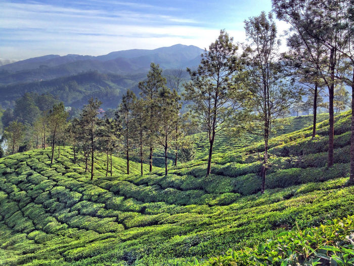Trees in tea plantation Calm Tea Agriculture Beauty In Nature Day Field Forest Freshness Green Color Growth Landscape Mountain Mountain Range Nature No People Outdoors Rural Scene Scenics Sky Tea Crop Tranquil Scene Tranquility Tree Trees In A Row Wide