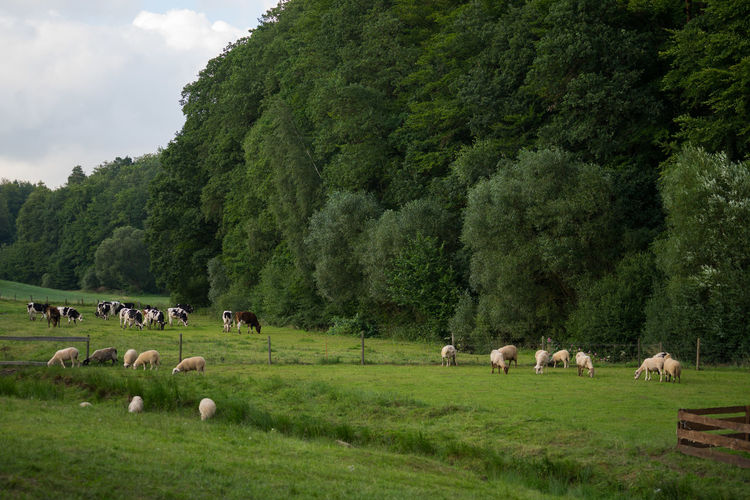 Farm Field Nature Countryside Cows Forest Sheep