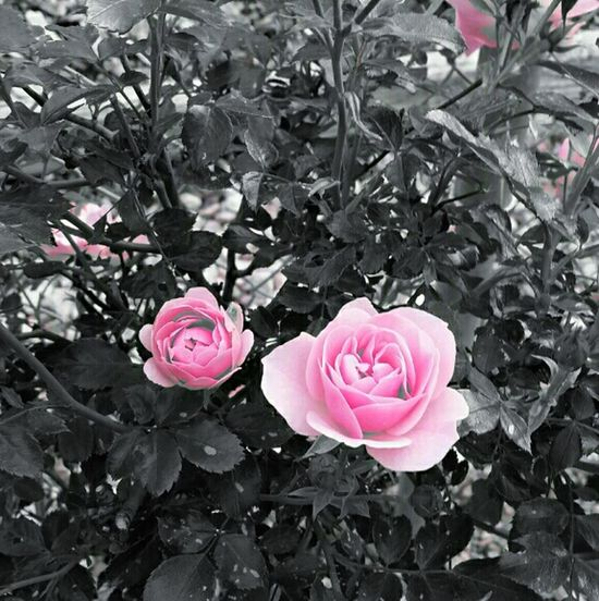 Pink RosesFlower Collection Natural Beauty Photography Colorsplash